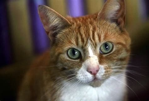 1000+ images about Ginger Tom Cats on Pinterest   Peeping